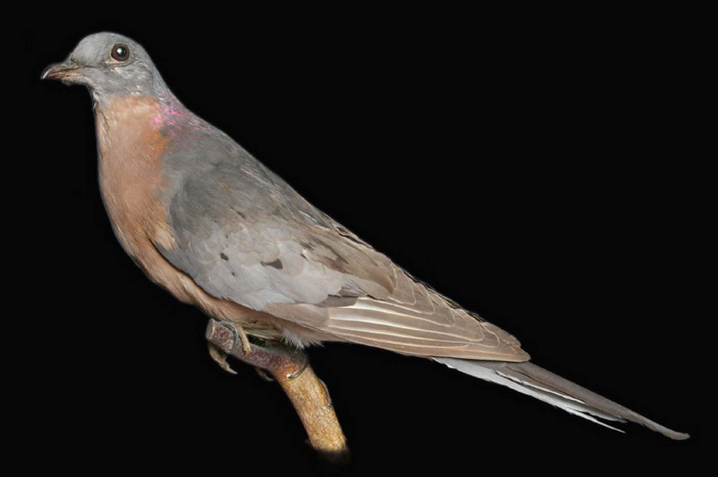 исчезнувшие животные и птицы в картинках основном, применяют